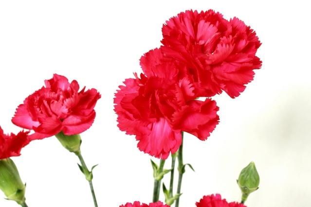 母の日に贈るカーネーションなどの花束の色別の花言葉